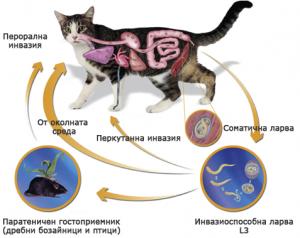 вътрешни паразити при кучето и котката