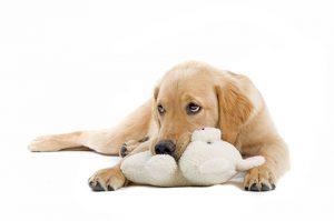 лъжлива пременност при кучетата