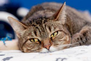 панкреас котка