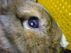 око заек