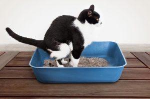 токслоплазма котка