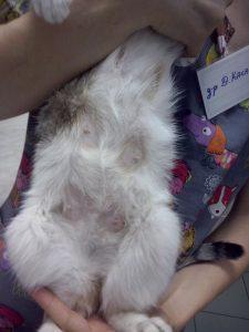 котка възпаление