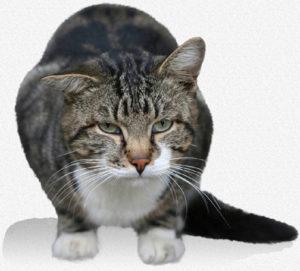 котка астма
