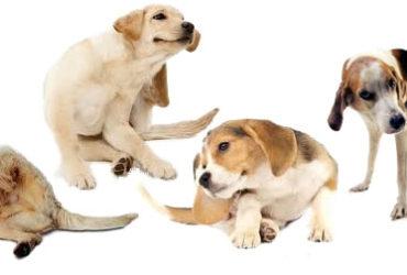 Породи кучета податливи на кожни алергии