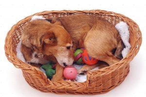 фалшива бременност при кучетата