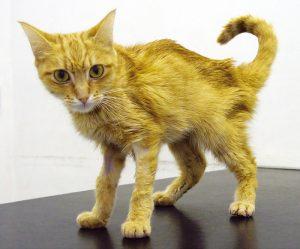 хранична бъбречна недостатъчност при котките