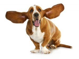 възпаление на ушите при кучета