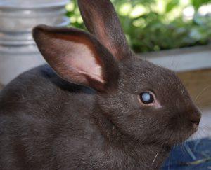 възпаление на очите заек