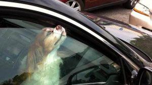 куче в кола лятото