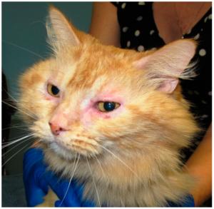възпаление очи котка