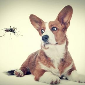 комар куче